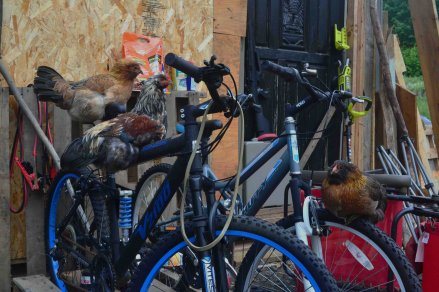chickens take over the bikes